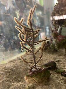 Purple Gorgonian Coral - Large