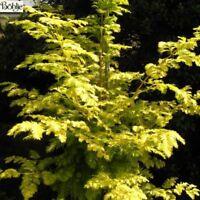 Metasequoia glyptostroboides Goldrush - gelber Mammutbaum - Urweltmammutbaum - 4