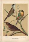Antique Color Plates (Holden, 1888) – Blackcap. European and Pekin Nightingales