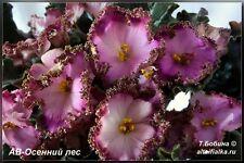 African violet leaf ****AV-Osiennij Les ****beautiful****standard bell