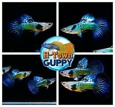 MALE ONLY x2 - Live Aquarium Guppy Fish High Quality - Blue Dragon