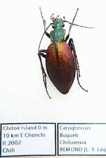 Ceroglossus buqueti chiloensis (female A1) from CHILE