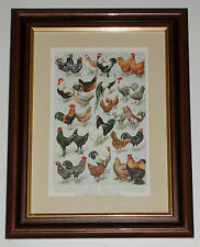 Print 100 years old Fowl Common Fancy Breeds Poultry (also available unframed)