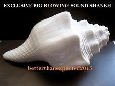 BIG SOUND MAKING SACRED SHANKHA CONCH SHELL- 7.5 INCH -385 GRAM- DIVINE PUJA