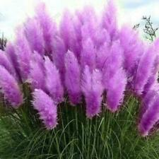 Usa Seller 200 Seeds Purple Pampas Grass Perennial Flowering Garden Plant