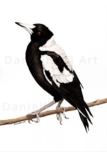 Watercolour Australian Magpie Print - australian bird prints black and white