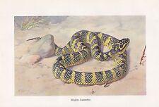 Wagners Baumotter Farbdruck von 1913 Schlangen Ottern Vipern Walter Heubach