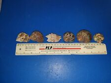 6 Extra large Cured Hermit Crab Shells