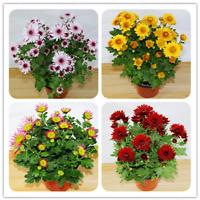 100 Pcs Seeds Chrysanthemum Bonsai Flowers Perennial Home Garden Plants NEW 2019