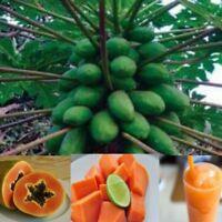 1000  Seeds Papaya Holland Fruit Thai Plant very Sweet Flesh tree garden Bonsai