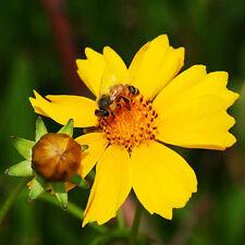 50 Yellow Coreopsis Seeds Coreopsis Grandiflora Big Flower Coreopsis