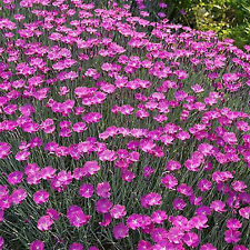 DIANTHUS CHEDDAR PINK FLOWER SEEDS - BULK - BEAUTIFUL