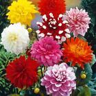 5 Dahlia Decorative Dinnerplate Mix Garden Flower Perennial Bulbs Tubers