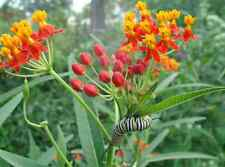 Tropical Milkweed 25 Seeds * Monarch Butterfly * Host Plant and Nectar Source