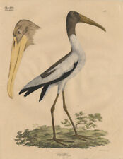 Antique Bird Print-WOOD IBIS-TANTALUS-Goldfuss-1824