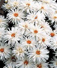 Shasta Daisy Chrysanthemum Crazy Daisy 100 Seeds Flower Seeds Perennial
