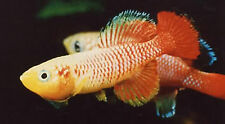 50 EGGS NOTHOBRANCHIUS GUENTHERI RED KILLIFISH KILLI EGG HATCHING TROPICAL FISH