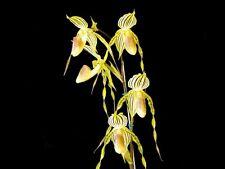 Híbrida Paphiopedilum amarilla tigre, (stonei X praestans) Zapatilla planta de orquídea,