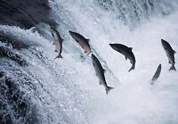 Art print POSTER / CANVAS Salmon Jumping in Brooks Falls
