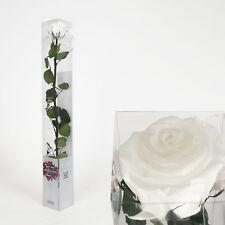 gefriergetrocknete Rose -Weiß ca. 50cm +/- in Geschenkverpackung - Naturprodukt