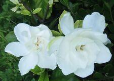 Flower seeds Perennial shrubs tree Cape Jasmine gardenia evergreen shrubs