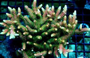 ASD Rainbow Mille Acropora Millepora SPS coral BIG FRAG