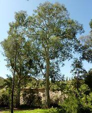 """Eucalyptus Camaldulensis -  """"Red River Gum"""" 40 Bonsai Seeds"""