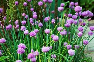 Chives Seeds--Organically Grown