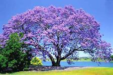 25+ BLUE JACARANDA TREE Mimosifolia Fern Flower Garden Seeds Free Shipping