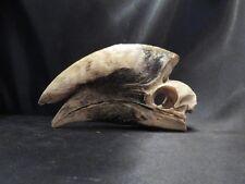 Crâne d'un calao à cuisses blanches  ostéologie taxidermie hornbill N° 3