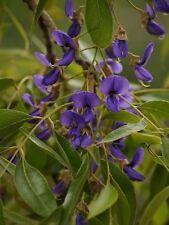 Gartenblume immergrün farbenfroh ganzjährige exotische Samen BLAUREGEN