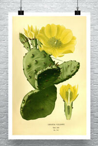 Prickly Pear Cactus Antique Style Illustration Giclee Print Canvas or Paper