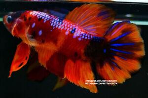 (SpecialOffer!) Premium GIANT Live Betta Fish l Male Nemo Samurai Plakat 6.3cm