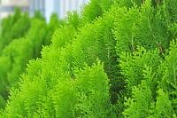 Der Lebensbaum bildet eine schöne, dichte, lebende Hecke.