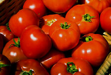 Rutgers Tomato Heirloom 100+ Seeds Non-Gmo Seeds + Free Gift