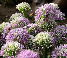 Berglauch Bienenweide  Allium senescens ssp. senescens  immergrün 1 Liter Topf