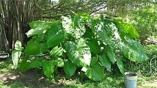 Sell Extra Large elephent ear plant 2 bulbs