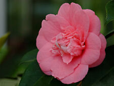 1 Plant Camellia japonica Camelia beautiful flower garden plant tree