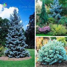 20 seeds /bag Home Garden Plant  Colorado sky Blue Spruce Picea Pungens Glauca T