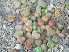 5x  Pflanzen lebende Steine MIX - Lithops - MIX -Conophytum .