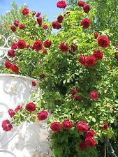 Deep Red Climbing Rose Seeds Double (10 seeds) F-144