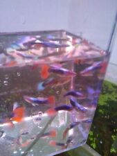 Red Blue Flourescent Guppy Trio (2 females 1male)- Live tropical Fish