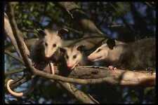 041065 opossums A4 papier photo