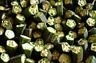 30/150 GRAINES GOMBO Rouge Bourgogne Légumes Potager Plante