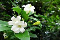 Murraya paniculate Orange Jasmine Seeds Great potted Tropical Multi-use Plant