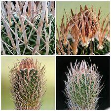 50 semi di Echinofossulocactus caespitosus ,piante grasse,seeds cactus