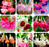Fuchsia Hybrida Plants Bonsai Lantern Flowers Perennial Garden New 100 PCS Seeds