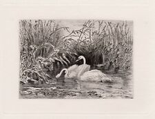 "Magical Karl Bodmer Original 1800s Etching ""Swans on Swan Lake"" Signed COA Neat"