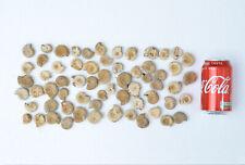 collection of 60 Agadir Ammonite fossil ammonites 4 cm