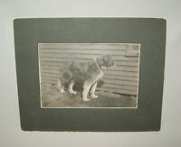 Antique Vtg 1900s Large Portrait of Buster the Dog Cabinet Card Photo Photograph